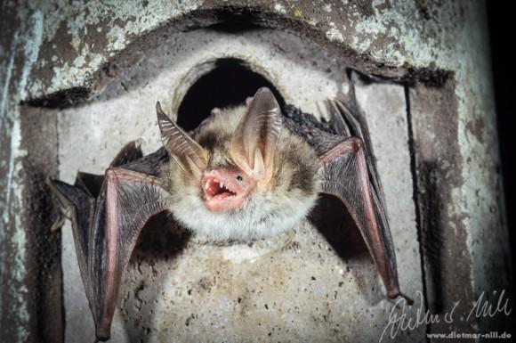 Die Bechsteinfledermaus(Myotis bechsteinii) besitzt für eine Myotis-Art auffällig grosse Ohren. Sie ist in Zentraleuropa beheimatet und bevorzugt Laubmischwälder. Beute wird über Krabbel- und Flattergeräusche der Insekten erkannt. Foto: Dietmar Nill.