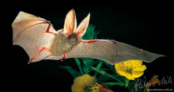 Braunes Langohr (Plecotus auritus) im Flug. Foto: Dietmar Nill.