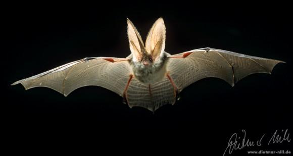Graues Langohr (Plecotus austriacus) im Flug. Foto: Dietmar Nill.