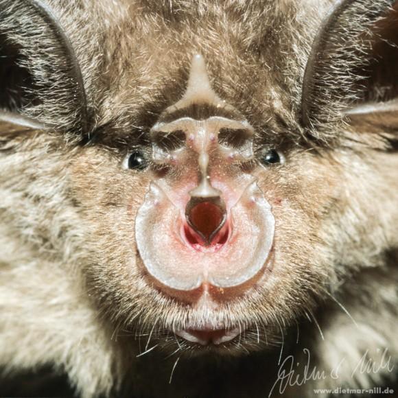 Große Hufeisennase (Rhinolophus ferrumequinum) - Portrait. Foto: Dietmar Nill.