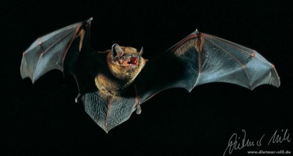 Großer Abendsegler (Nyctalus noctula) im Flug. Foto: Dietmar Nill.