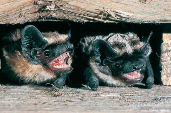 Die Zweifarbfledermaus (Vespertilio murinus) lebt in Höhlenlagen mit bewaldeten Hängen, größeren Lichtungen, sumpfigen Niederungen und Felsen, aber auch in grossen Städten wie Berlin; bevorzugtes Jagdhabitat ist der freie Luftraum; spektakuläre Balzflüge. Foto: Dietmar Nill.