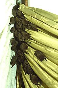 Bei einer Fledermausinvasion fliegen durchschnittlich 10 - 40 Tiere in eine Wohnung ein. Wir haben aber auch schon 246 Zwergfledermäuse aus einem Zimmer gerettet. Die Tiere hängen dann in der Gardine oder im Vorhang und verschlafen den Tag. (Foto: Susanne Röpling)