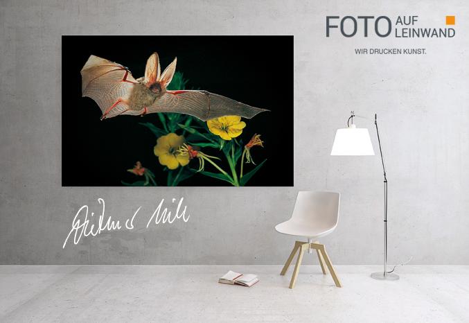 fledermaus fotos auf leinwand. Black Bedroom Furniture Sets. Home Design Ideas