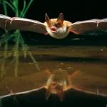 Bechsteinfledermaus im Flug, Myotis bechsteinii, Bechstein's bat in flight, vespertilion de Bechstein