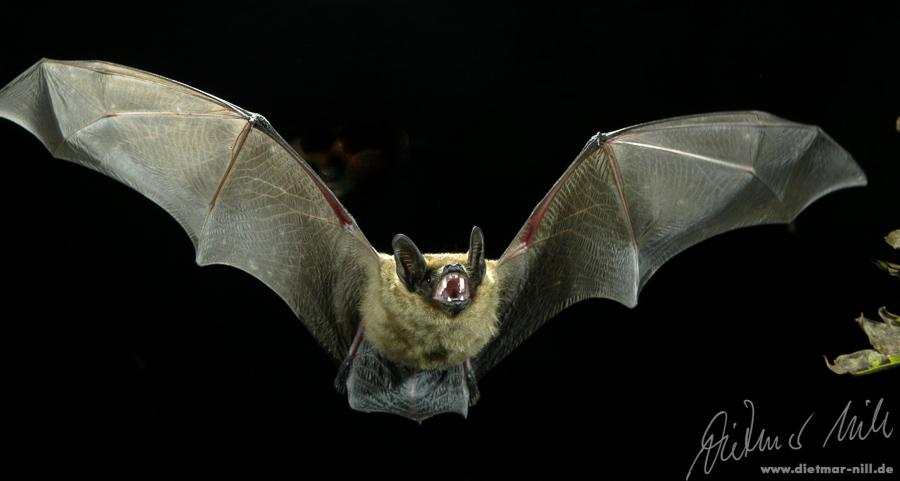 Breitflügelfledermaus (Eptesicus serotinus) im Flug. Foto: Dietmar Nill.