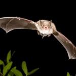 Fransenfledermaus (Myotis nattereri) im Flug. Foto: Dietmar Nill.