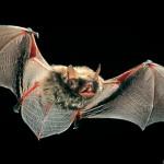 Grosse Bartfledermaus (Myotis brandtii) im Flug. Foto: Dietmar Nill.