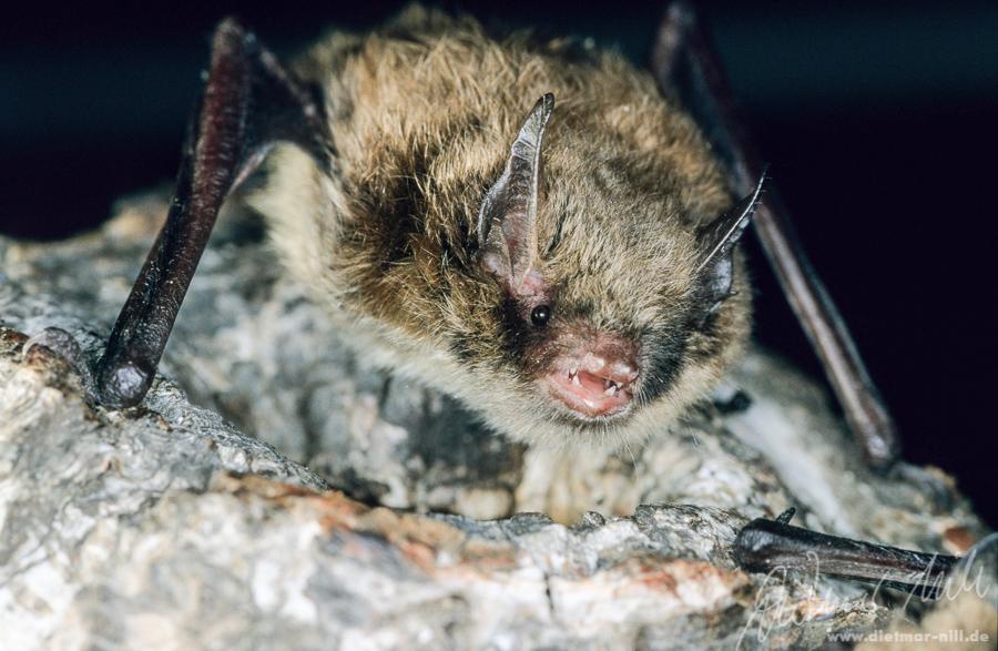Kleine Bartfledermaus (Myotis mystacinus) - Portrait. Foto: Dietmar Nill.