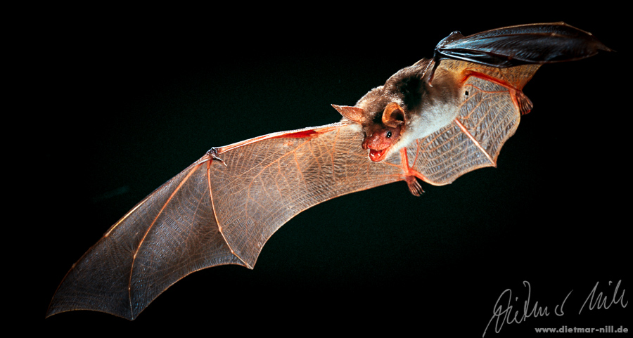 Kleines Mausohr im Flug, Myotis blythi, lesser mouse-eared bat in flight, petit murin