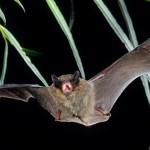 Mückenfledermaus (Pipistrellus pygmaeus) im Flug. Foto: Dietmar Nill.