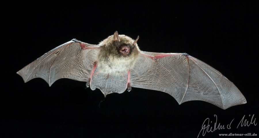Nymphenfledermaus (Myotis alcathoe) im Flug. Foto: Dietmar Nill.