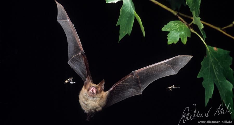 Wimperfledermaus (Myotis emarginatus) im Flug. Foto: Dietmar Nill.
