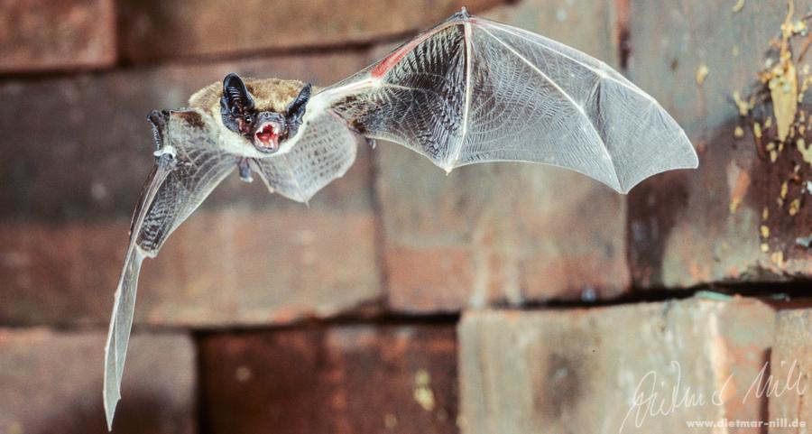 Die Zweifarbfledermaus (Vespertilio murinus) lebt in Höhlenlagen mit bewaldeten Hängen, größeren Lichtungen, sumpfigen Niederungen und Felsen, aber auch in grossen Städten wie Berlin; bevorzugtes Jagdhabitat ist der freie Luftraum; spektakuläre Balzfluege. Foto: Dietmar Nill.