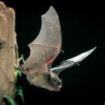 Zwergfledermaus (Pipistrellus pipistrellus) im Flug. Foto: Dietmar Nill.