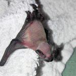 Junge Fledermaus, erst wenige Tage alt. Die Haut ist noch rosig. Es ist noch kein Fell gewachsen. Foto: Sabine Kaufmann